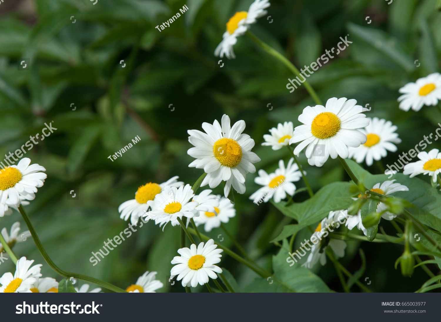 Summer photos flowers daisies aromatic european stock photo royalty summer photos of flowers daisies an aromatic european plant of the daisy family with izmirmasajfo