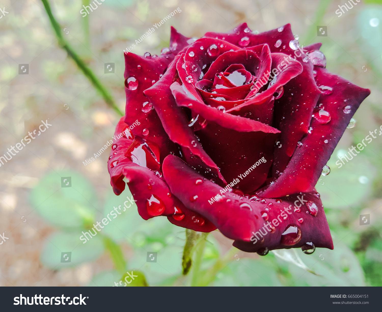 Beautiful Red Rose Flower Rain Drops Stock Photo Edit Now