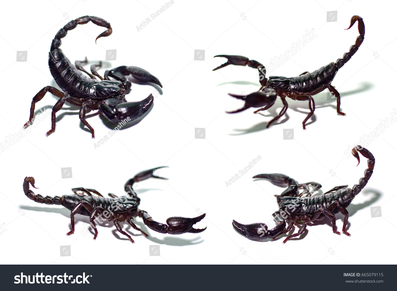 Scorpions Fighting Isolated On White Background Black Stock Photo ...