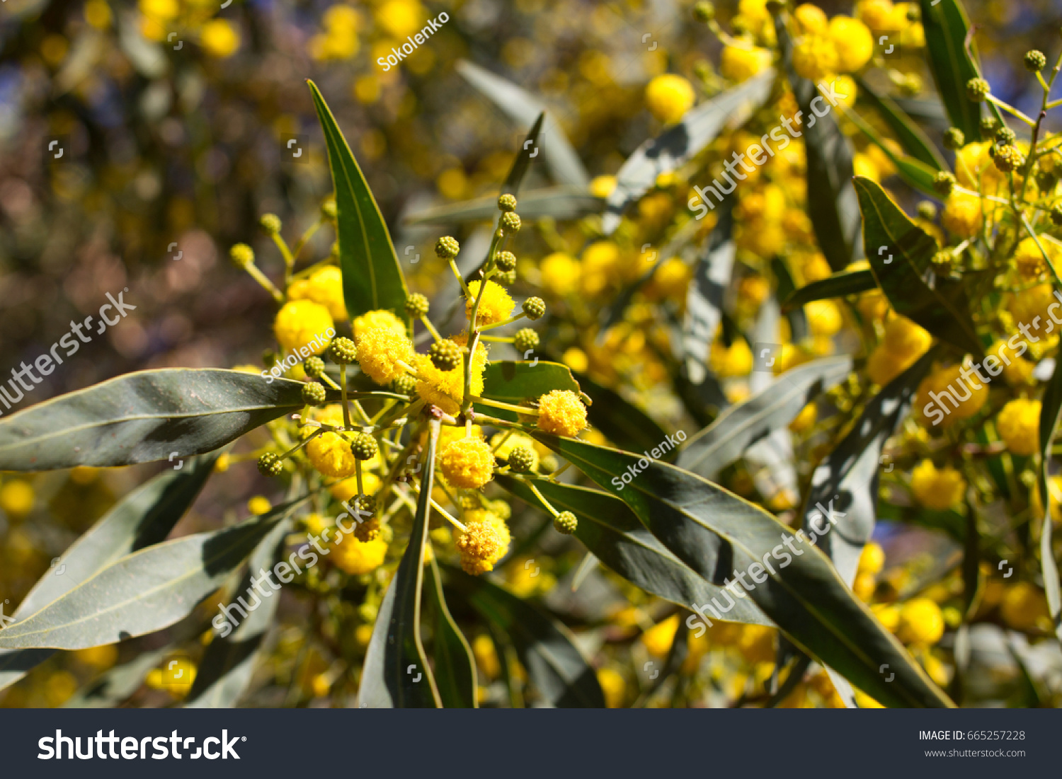 Yellow Ball Of Mimosa Flowers Woman S Day 8 March Ez Canvas