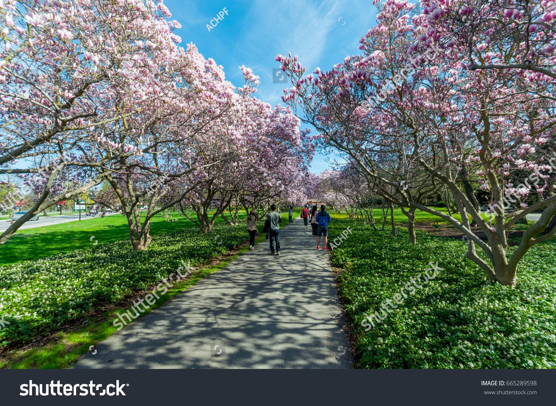 Beautiful Outdoor Scenery Magnolia Trees Blossom Stock Photo (Edit ...