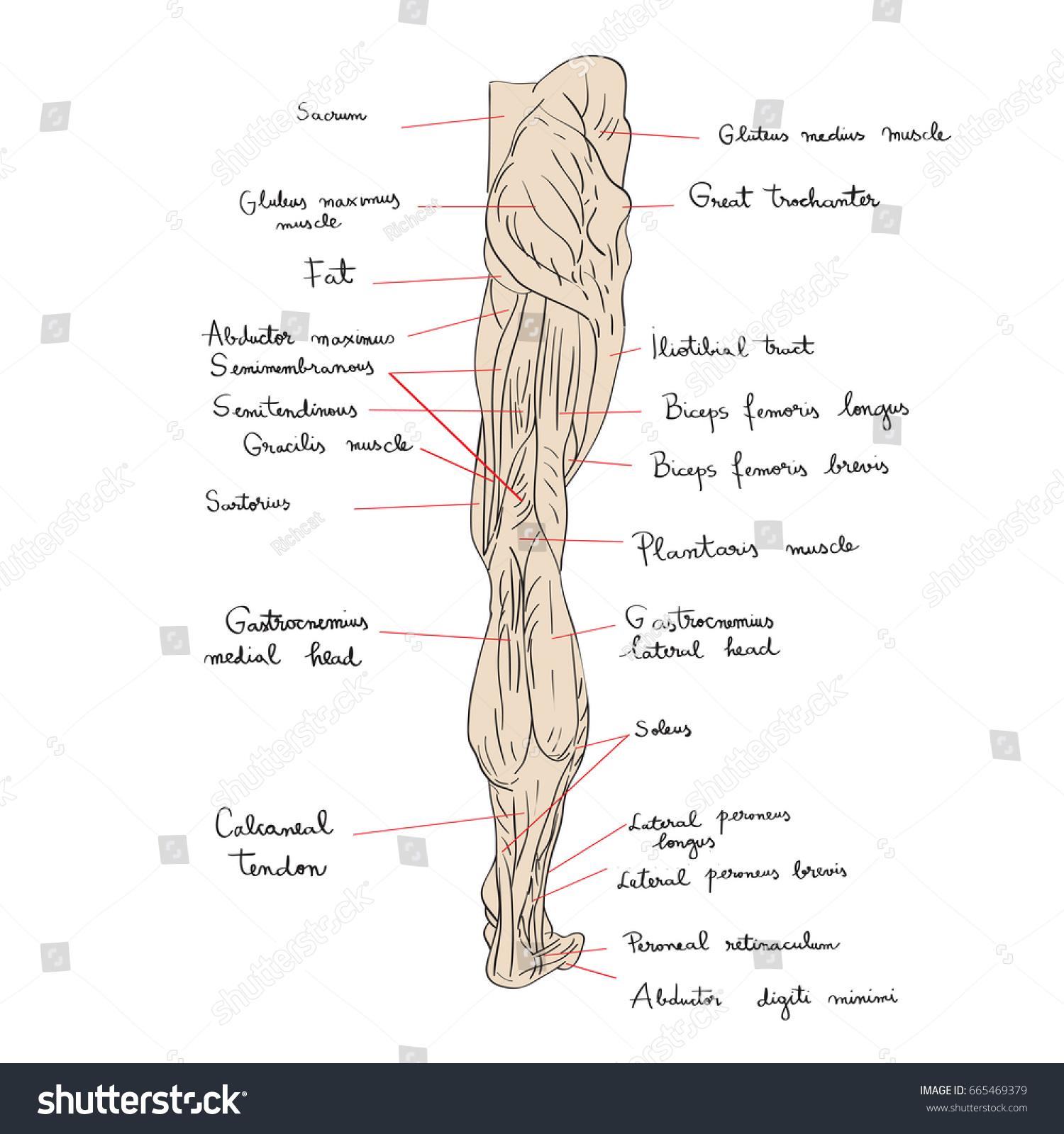 Royalty Free Stock Illustration Of Hand Drawn Illustration Leg