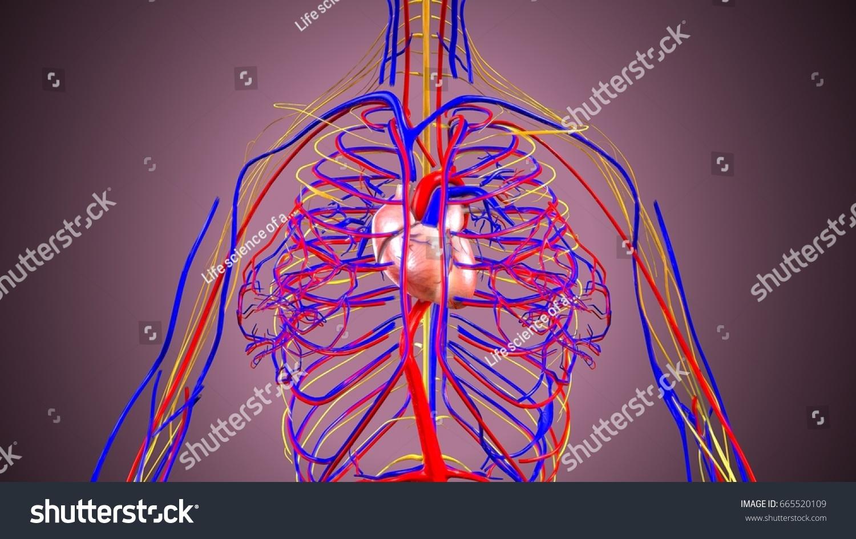 3 D Illustration Human Body Nerves Heart Stock Illustration