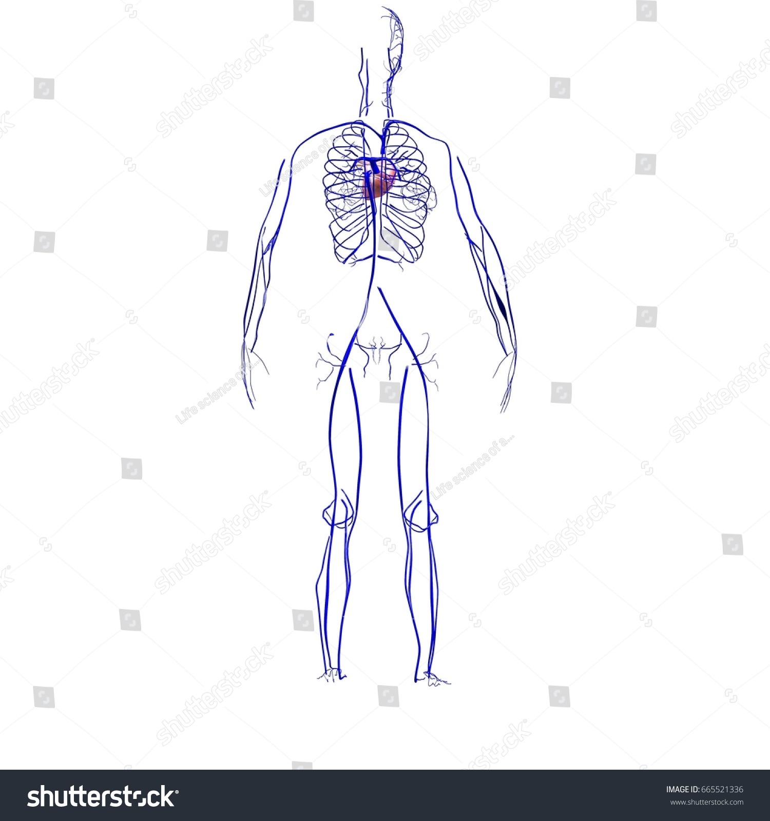 3 D Illustration Human Body Nerves Anatomy Stock Illustration