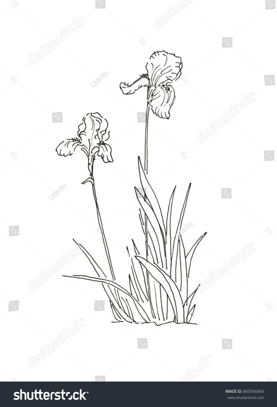 Bush Iris Flower Ink Pen Black Stock Illustration 665566843