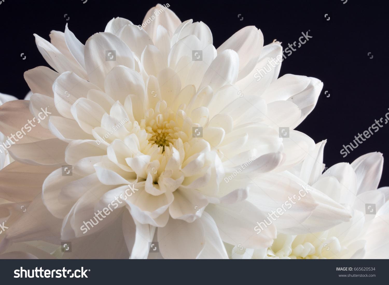 Closeup White Chrysanthemum Flower On Black Stock Photo Royalty