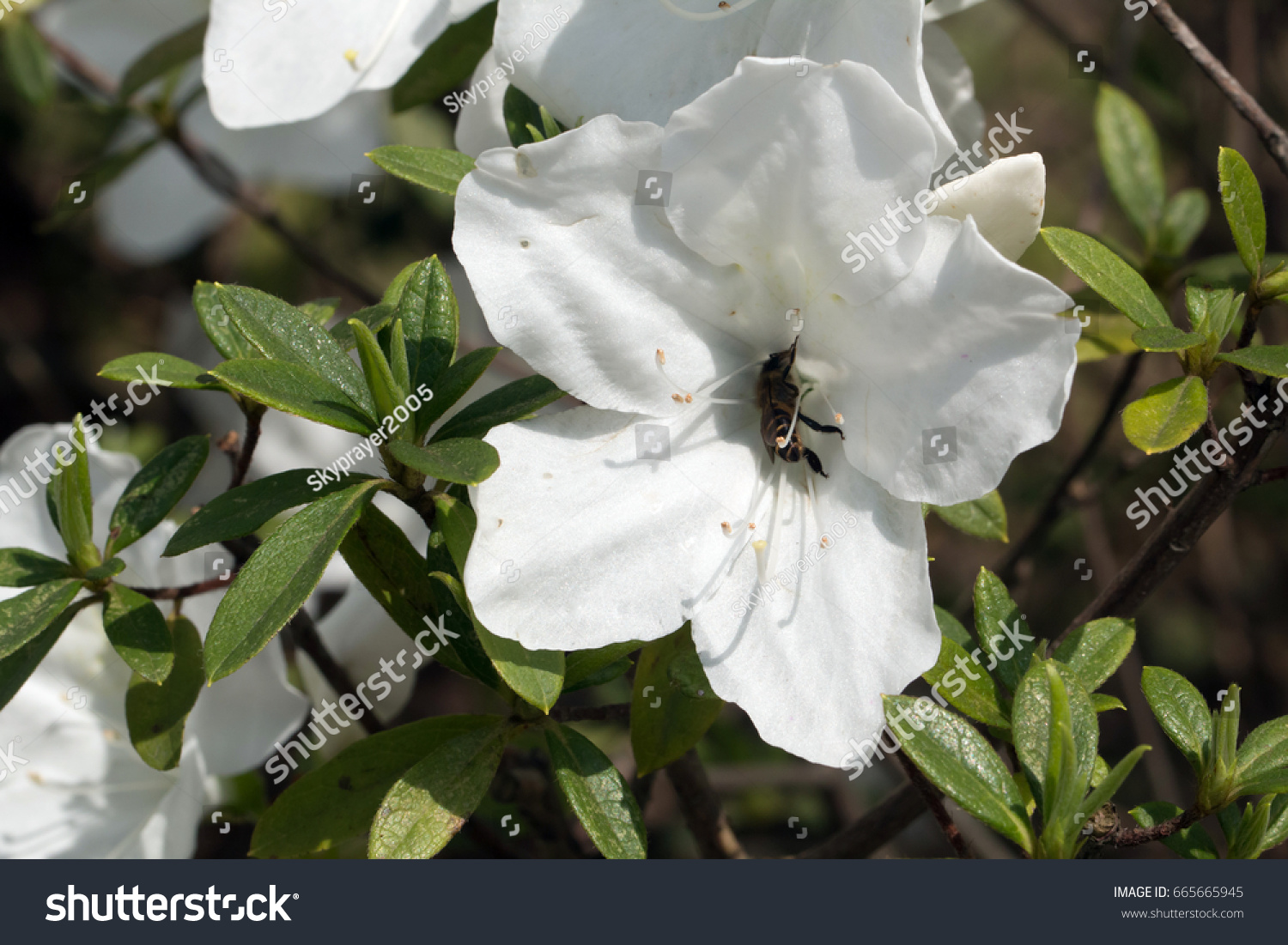 Rhododendrons White Flowers Closeup Rhododendron Indicum Stock Photo