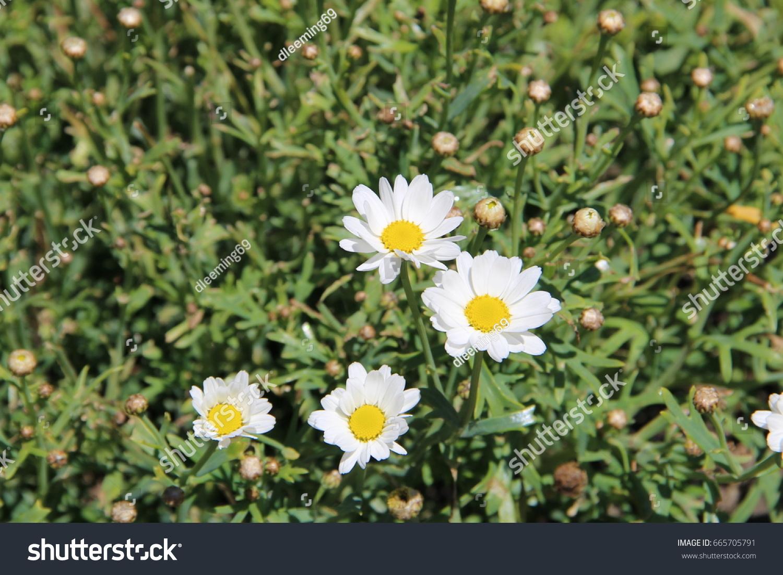 Shasta Daisies Leucanthemum Low Maintenance Perennials Stock Photo