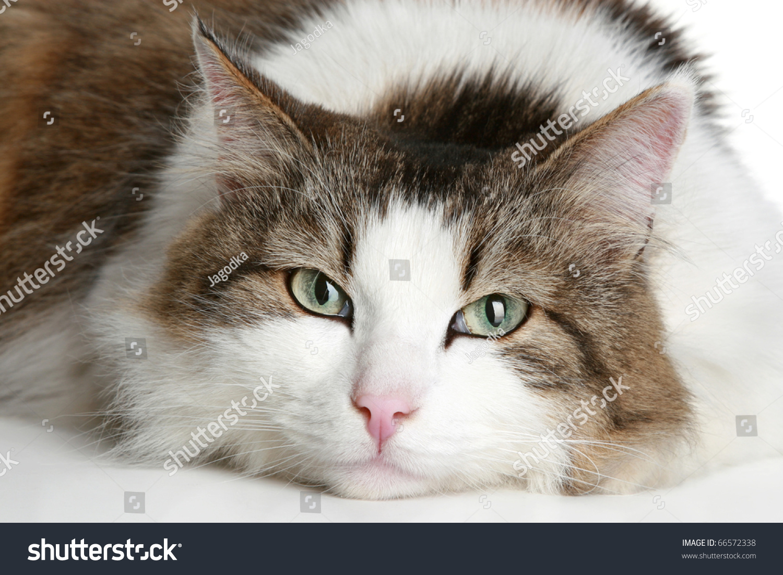 diabetes mellitus in cat