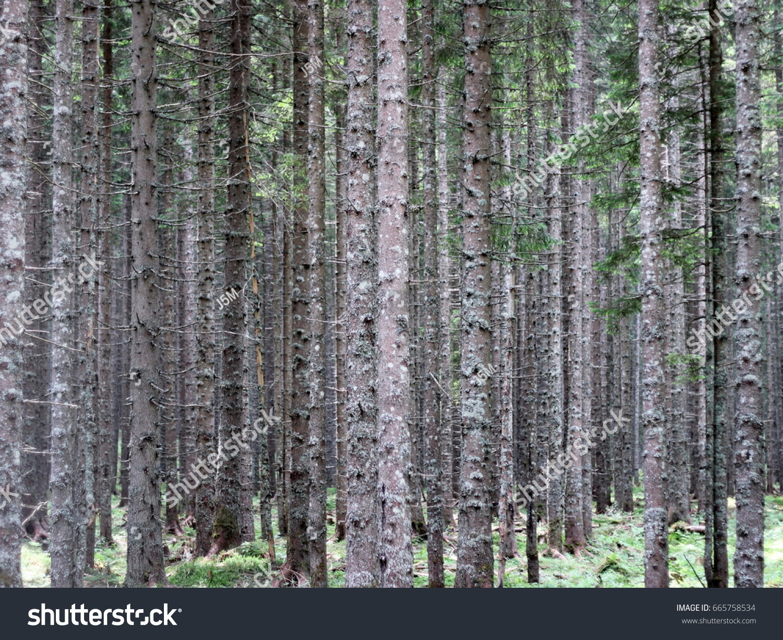 stock-photo-spruce-forest-665758534.jpg