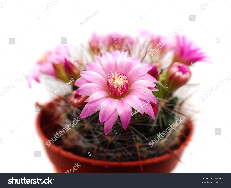 Macro Closeup Hot Pink Purple Flowers Stock Photo Edit Now