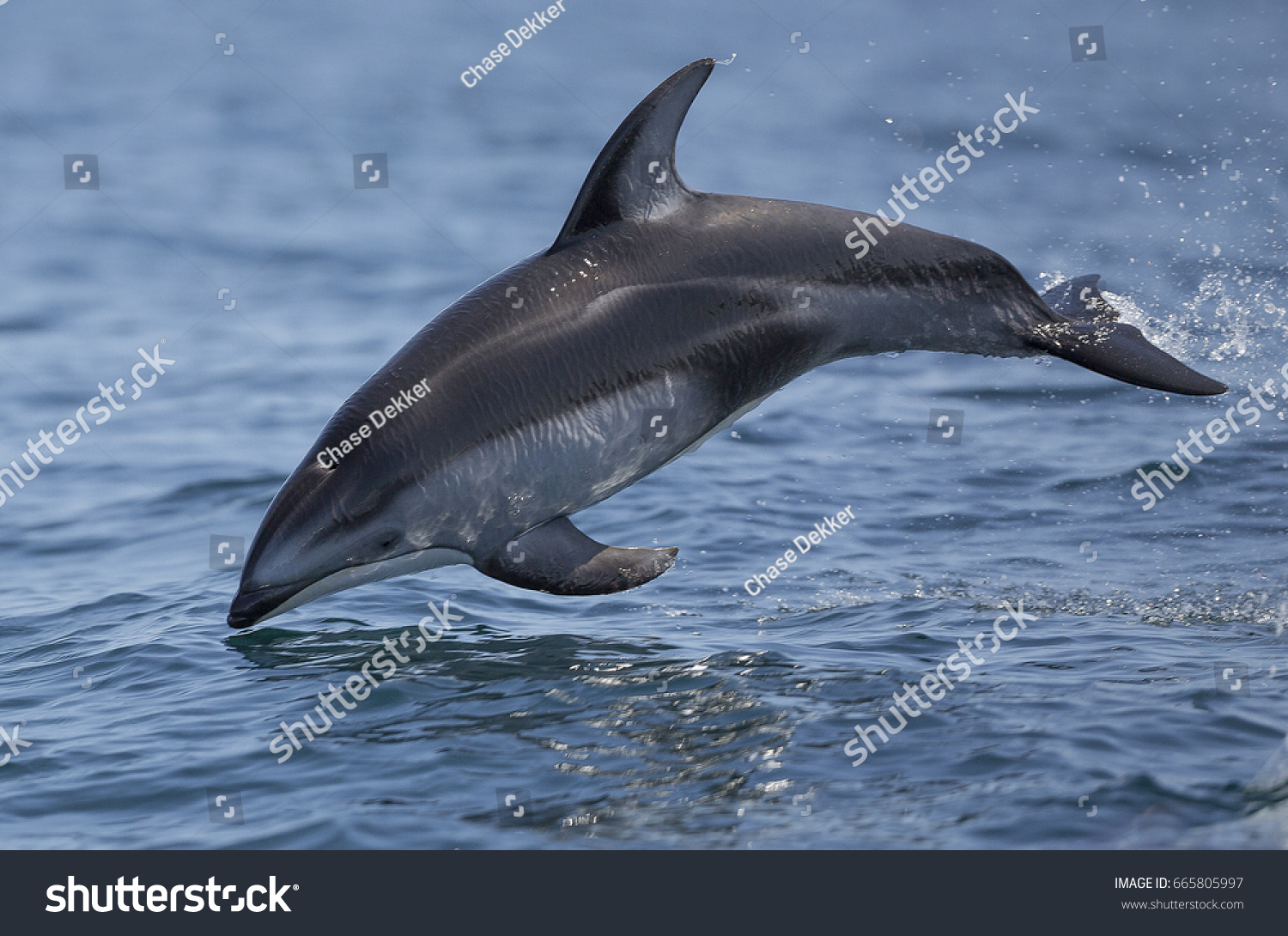 Pacific Whitesided Dolphin Leaps Out Water Stock Photo (Royalty Free ...