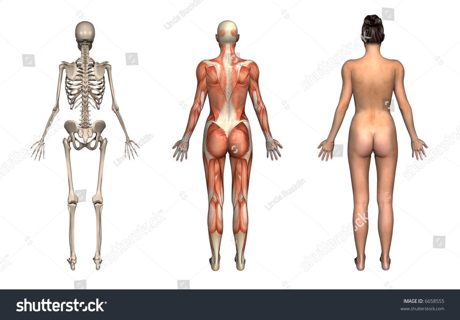 Anatomical Overlays Female Back View These Stock Illustration ...
