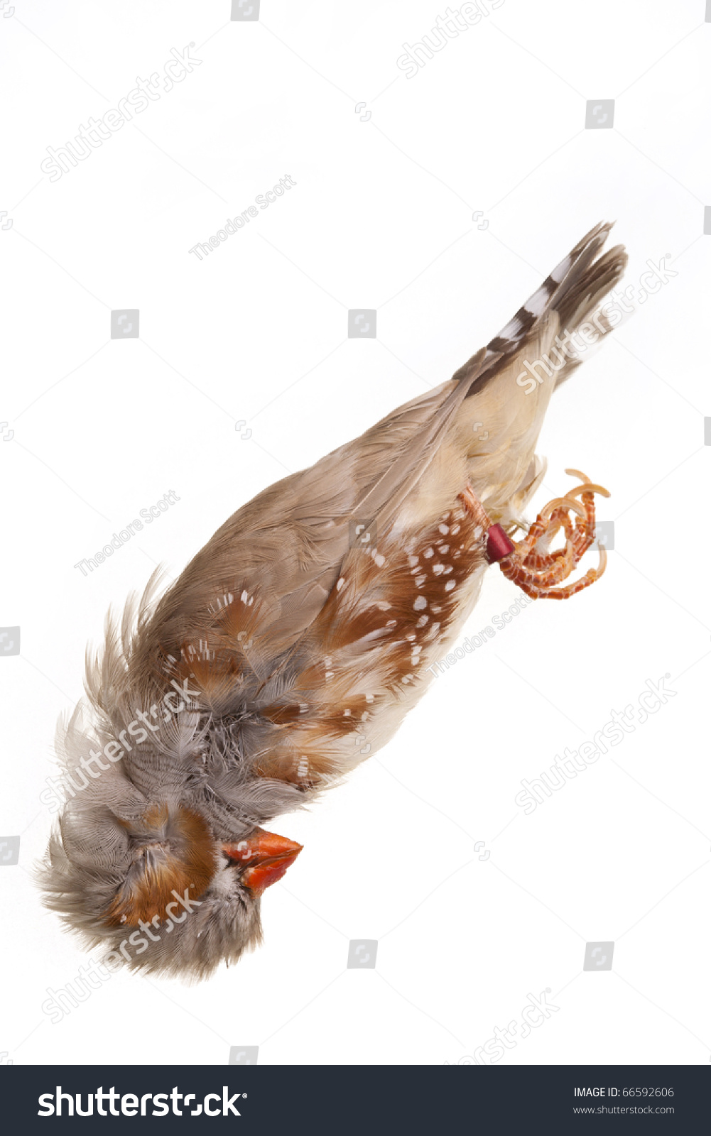 Dead zebra finch bird isolated on stock photo 66592606 shutterstock dead zebra finch bird isolated on white biocorpaavc
