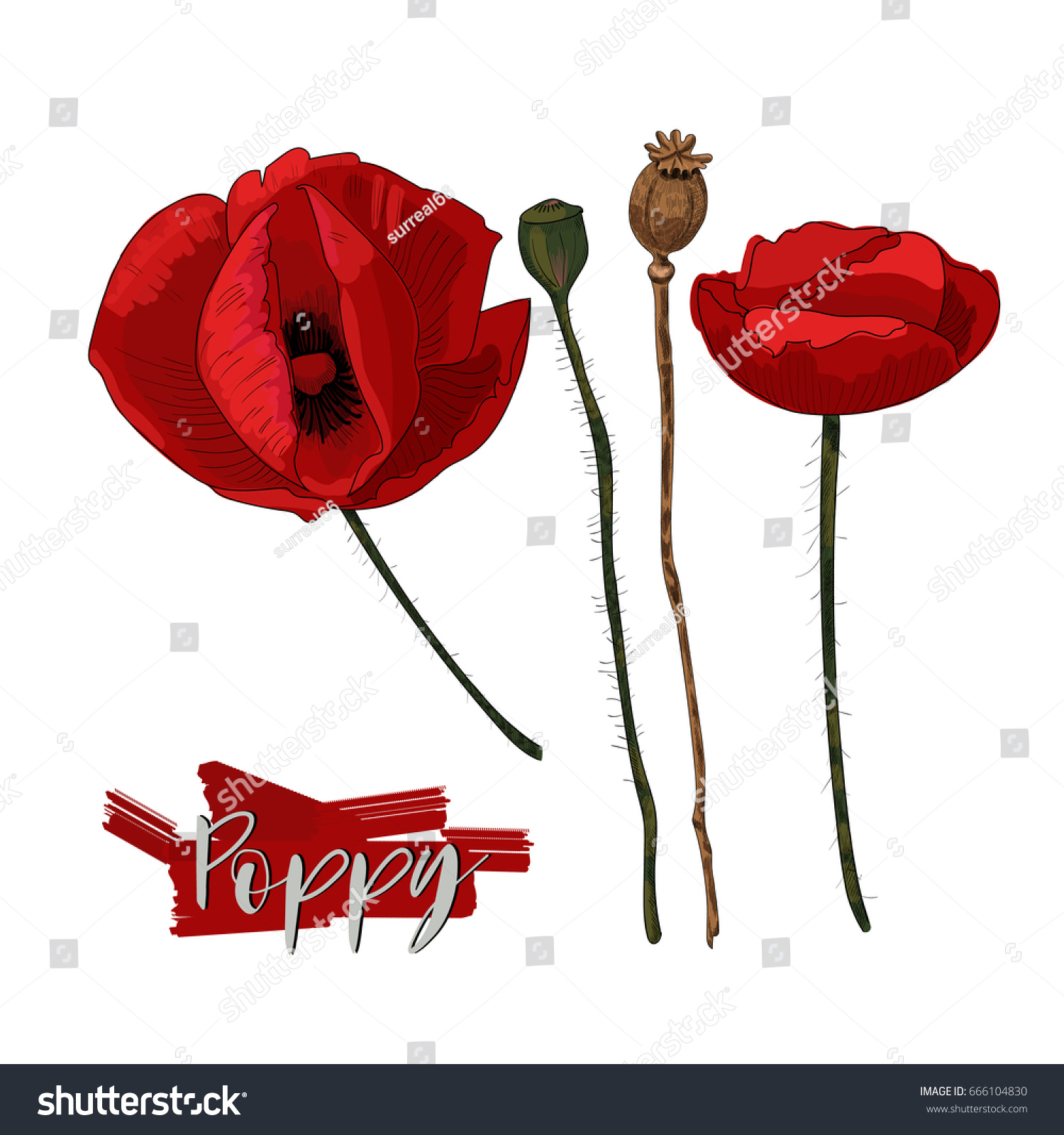 color poppy flowers and seed head isolated on white background poppy flowers heads and