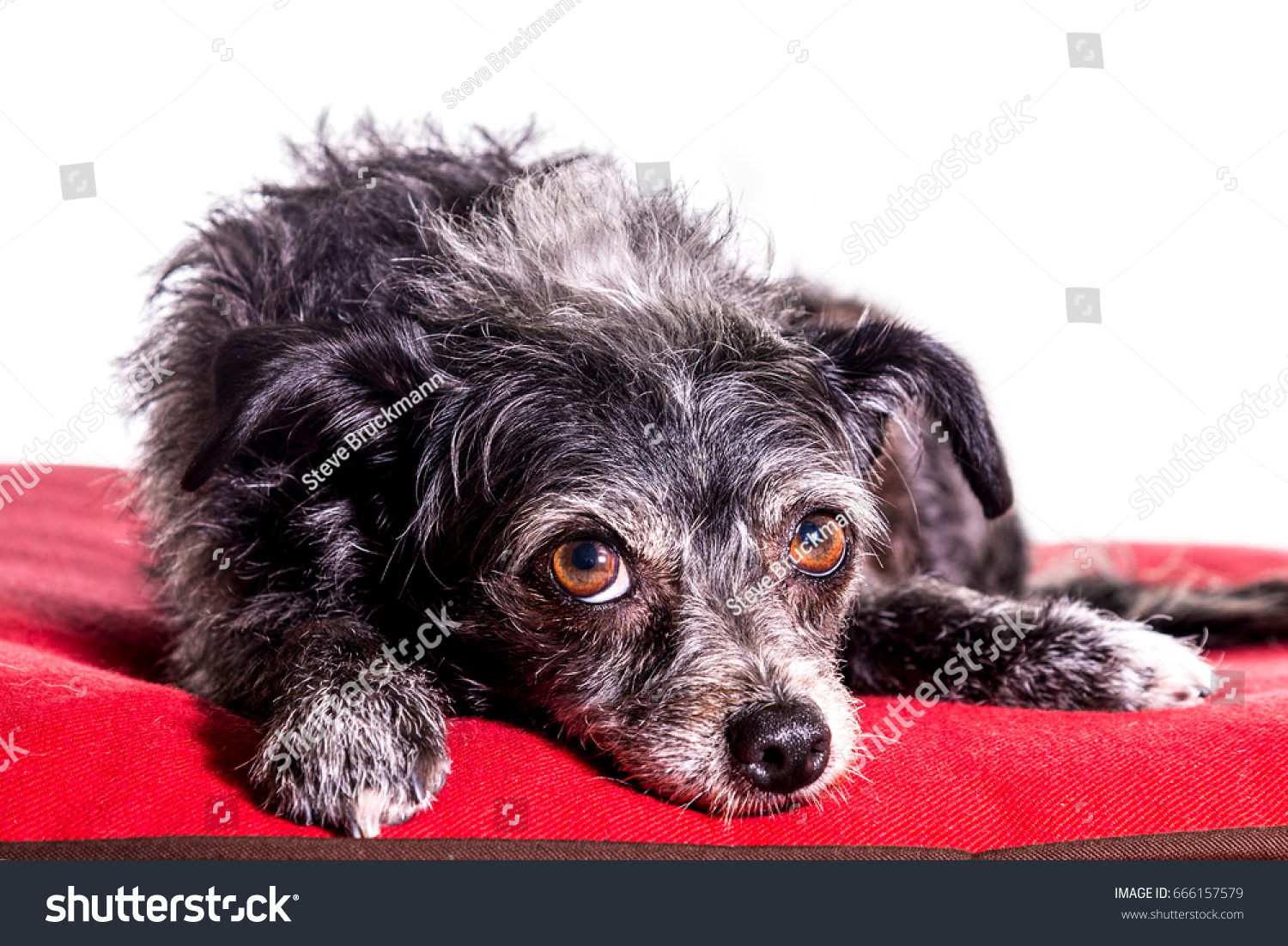 Cute Dorkie Dog Mixed Breed Dachshund Stock Photo Edit Now