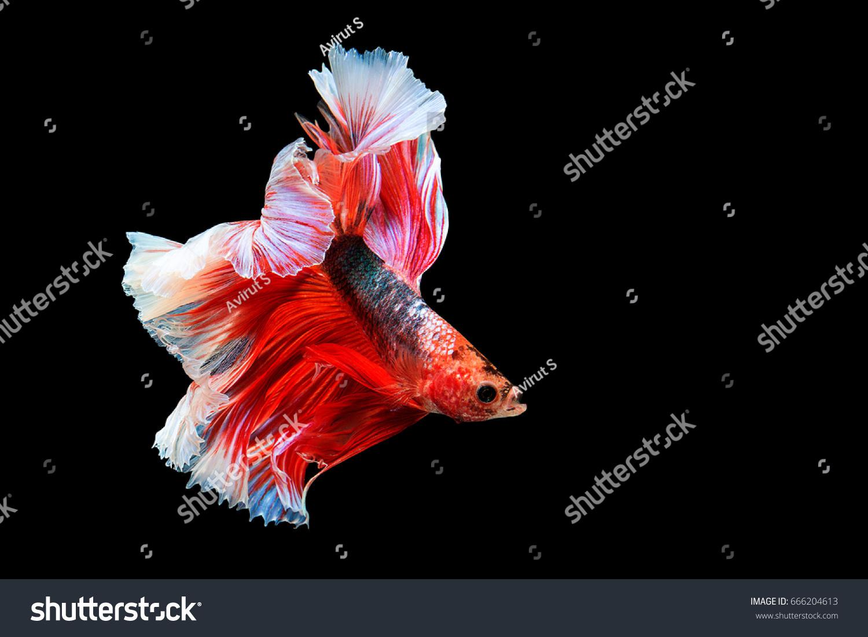 Betta fish, siamese fighting fish, betta splendens isolated on black ...