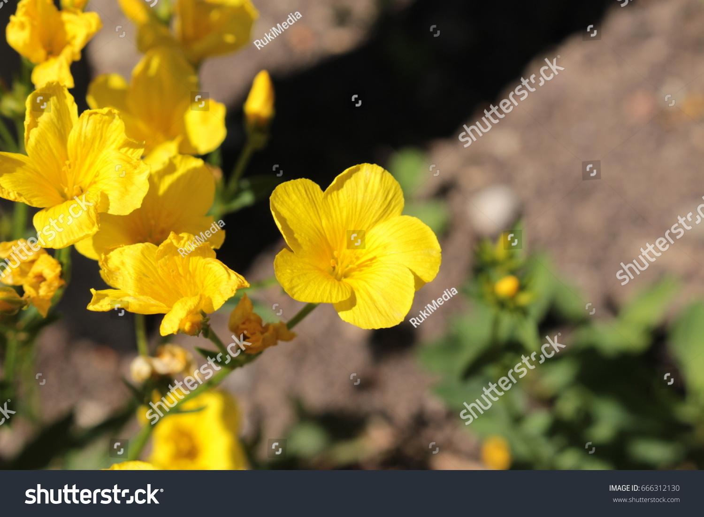 Golden flax flower or yellow flax stock photo edit now 666312130 golden flax flower or yellow flax gelber lein crimean flax mightylinksfo