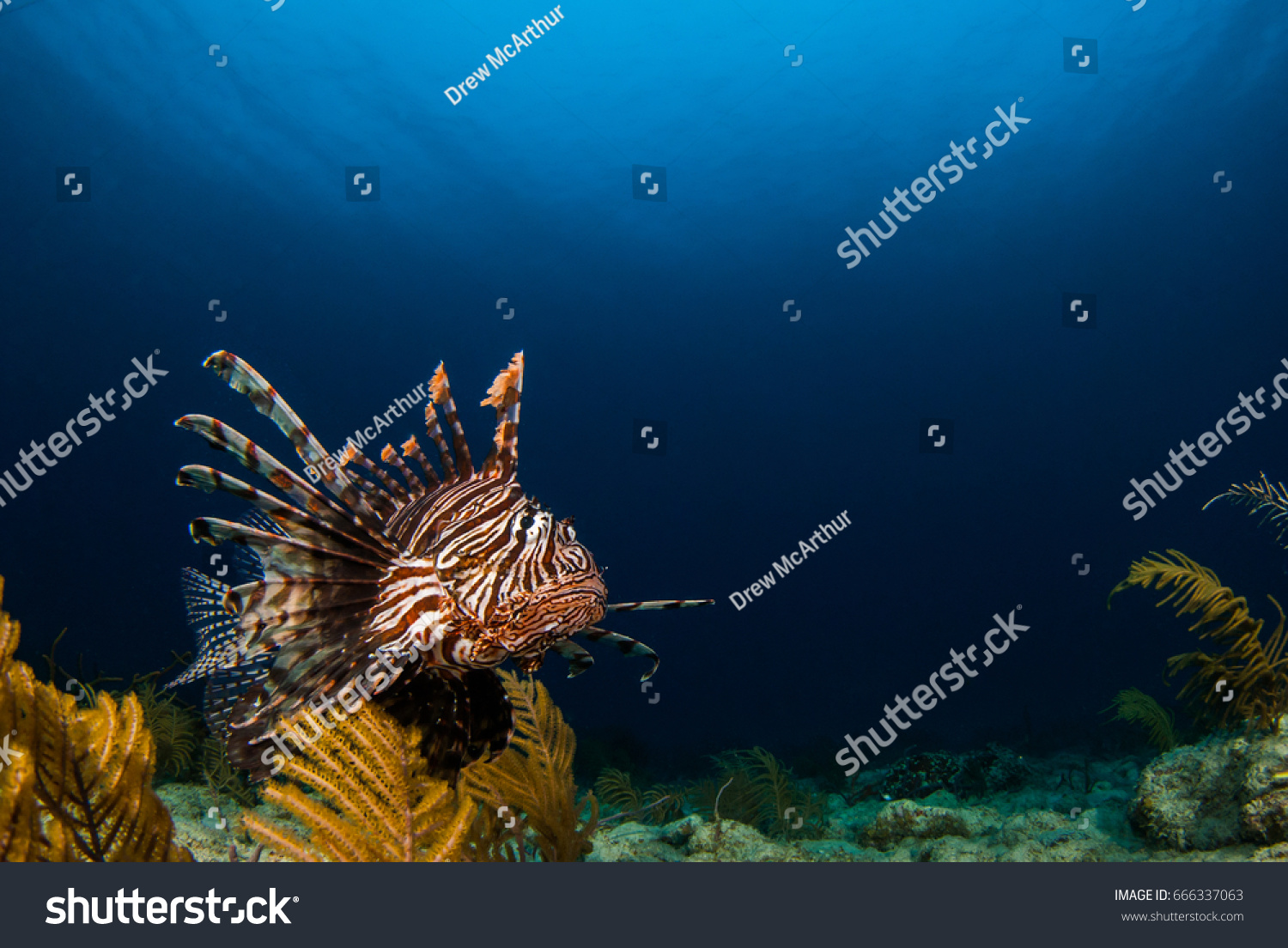 the lionfish an invasive species An invasive species is any plant, animal or other organism that is not native to an ecosystem invasive species invasive lionfish invasive cup coral.