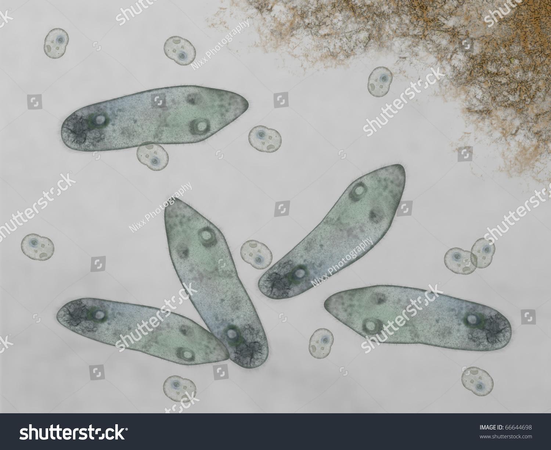 microscopic paramecium amoeba stock illustration 66644698 shutterstock