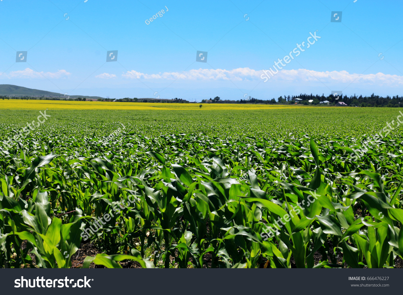 Corn Field Yellow Flowers Background Stock Photo Edit Now