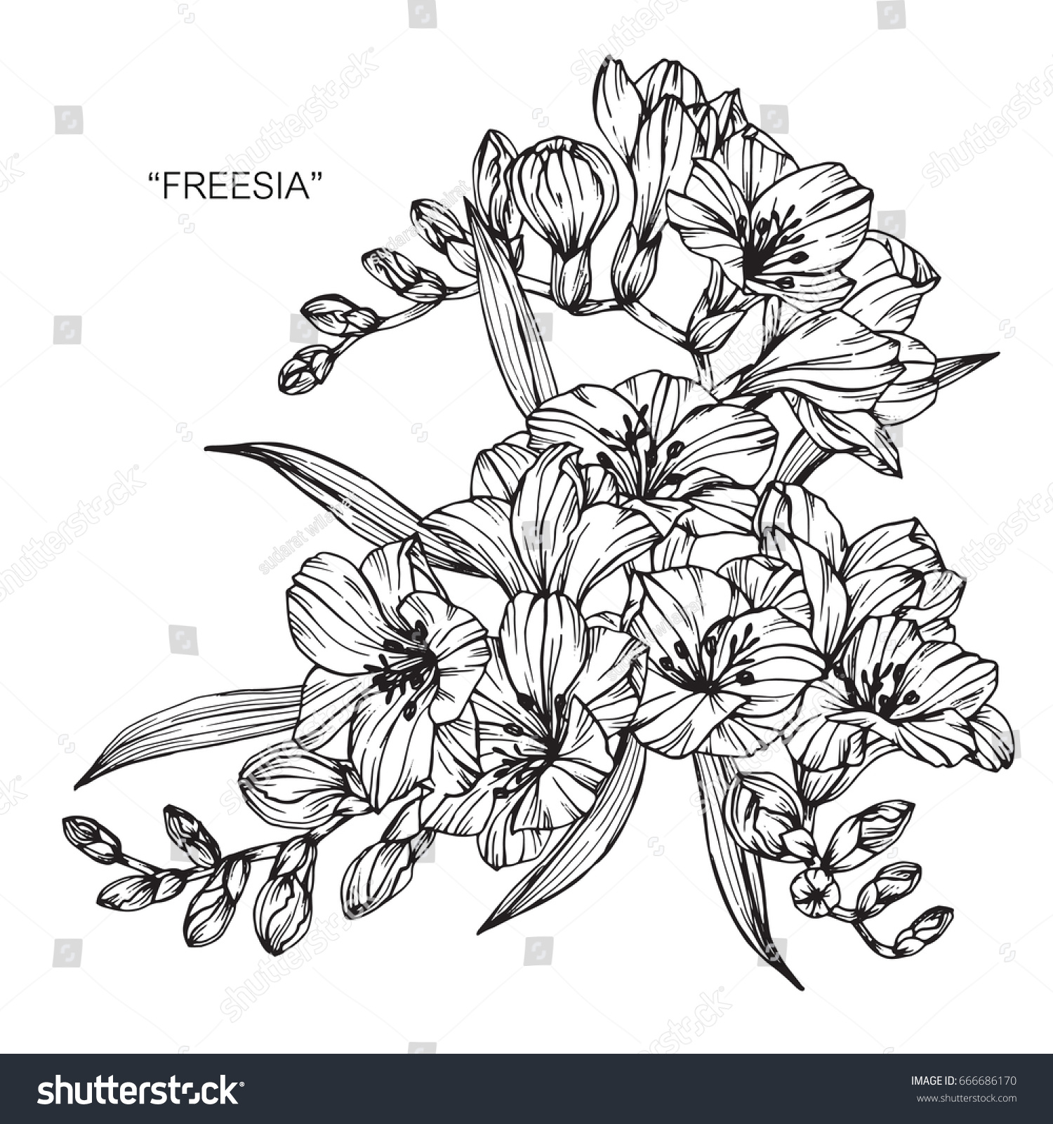 Bouquet freesia flowers drawing sketch lineart stock vector 2018 bouquet of freesia flowers drawing and sketch with line art on white backgrounds izmirmasajfo
