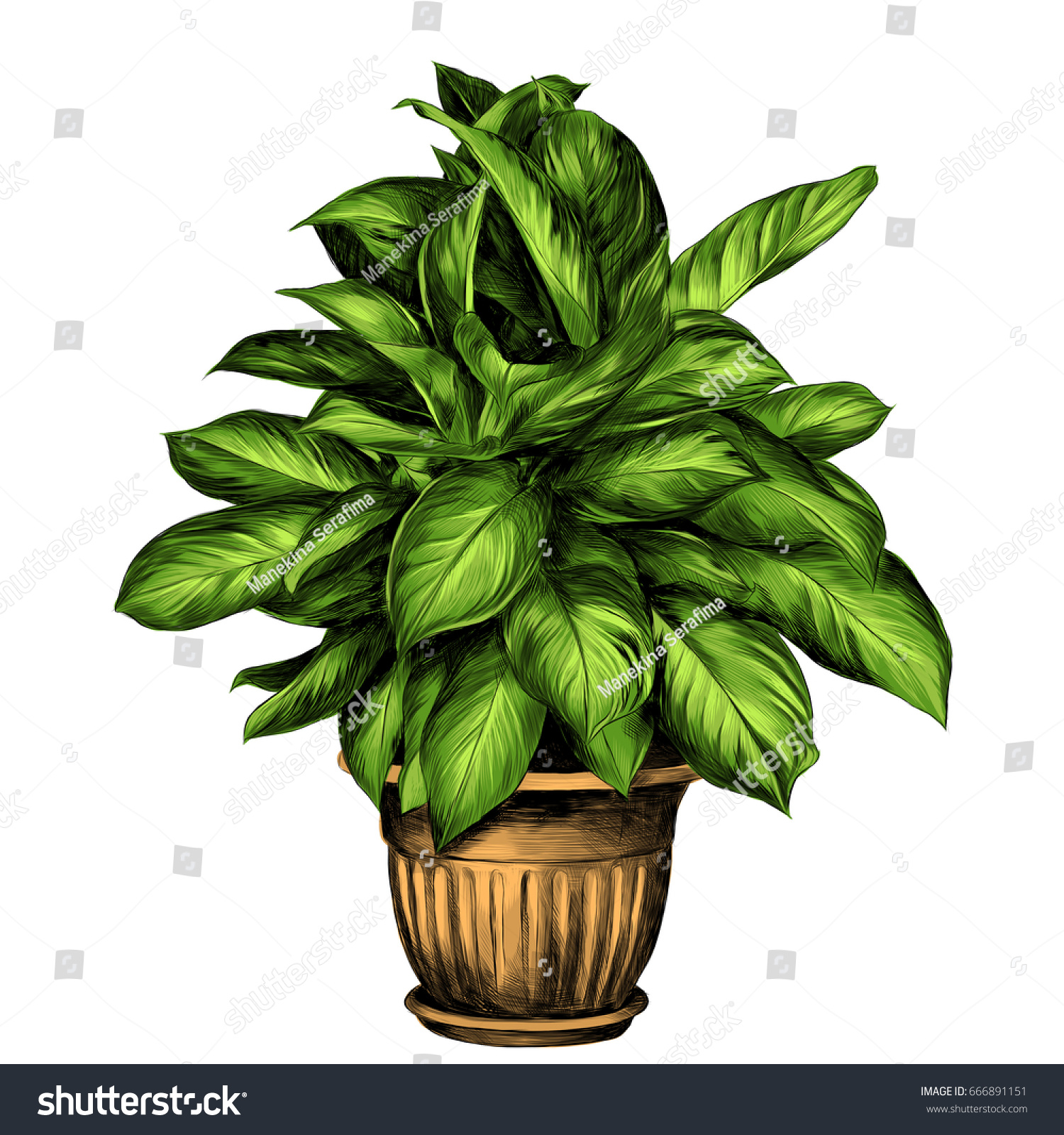 Flower Pot Aglaonema Sketch Vector Graphics Stock Vector (Royalty ...