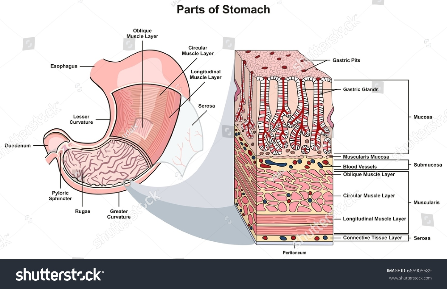 Parts Stomach Infographic Diagram Including Structure Stock Vector