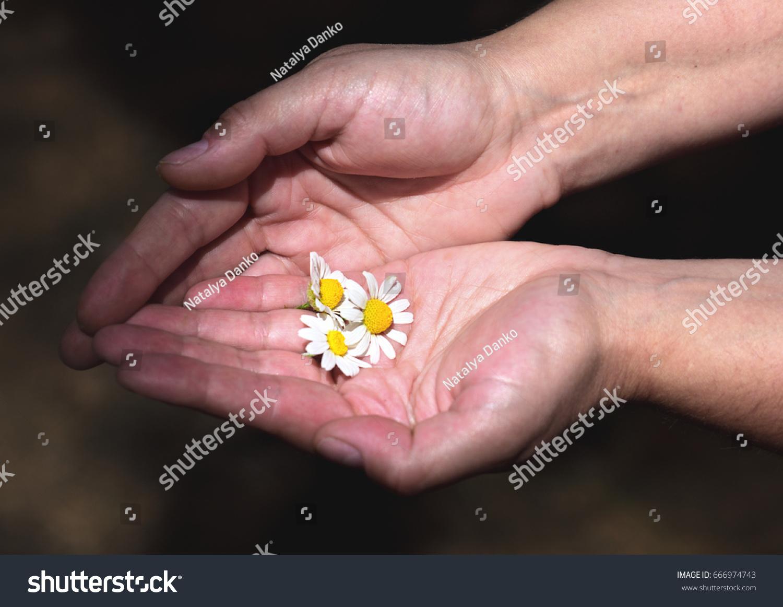 Buds White Daisies Human Hands Stock Photo 666974743 - Shutterstock