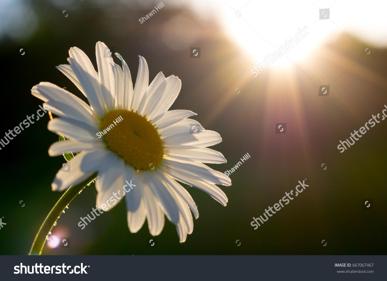 Sunlight Daisy Bright Large Daisy Flower Stock Photo Edit Now