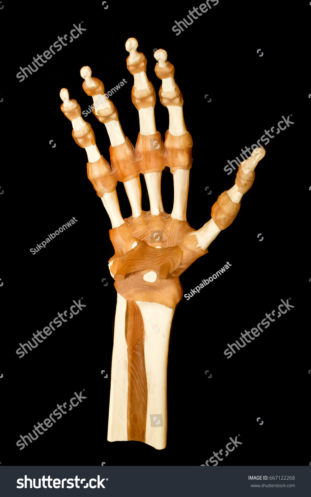 Hand Tendon Bone Human Hand Anatomy Stock Photo (Edit Now) 667122268 ...