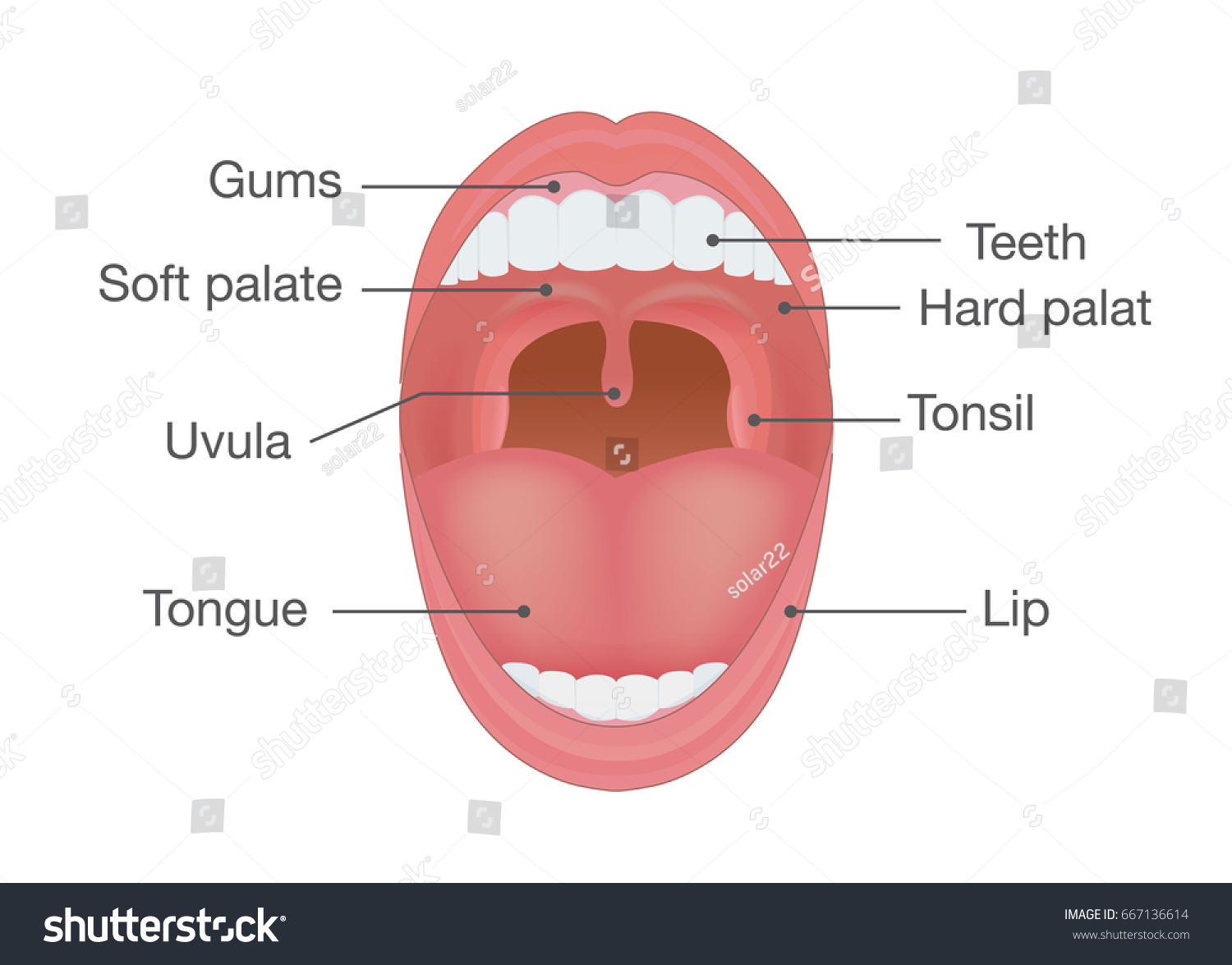 Anatomy Human Mouth Illustration About Body Stock Vector Royalty