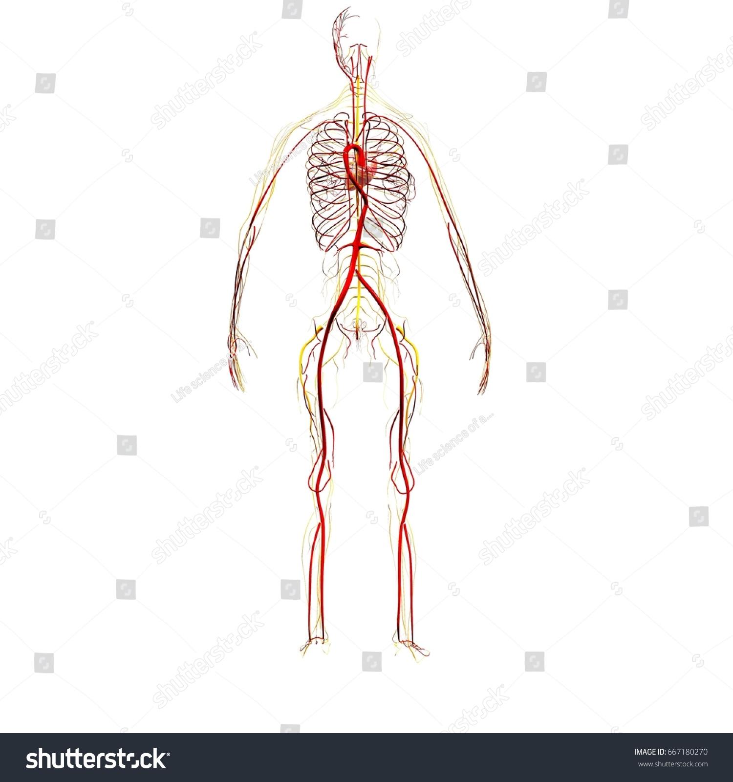 3 D Illustration Human Body Heart Circulatory Stock Illustration