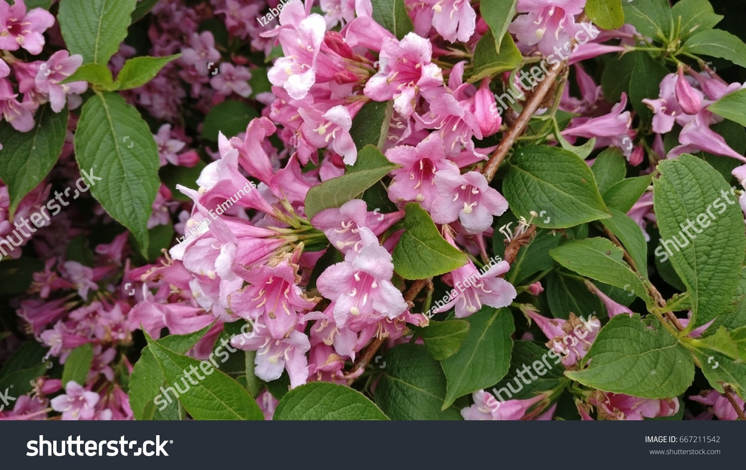 Cluster Of Pink Flowers Of Weigela Plant Ez Canvas