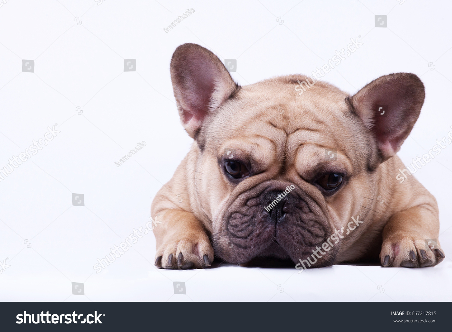 Beautiful Bulldog Brown Adorable Dog - stock-photo-adorable-fawn-or-brown-french-bulldog-lying-on-white-background-667217815  Snapshot_655033  .jpg