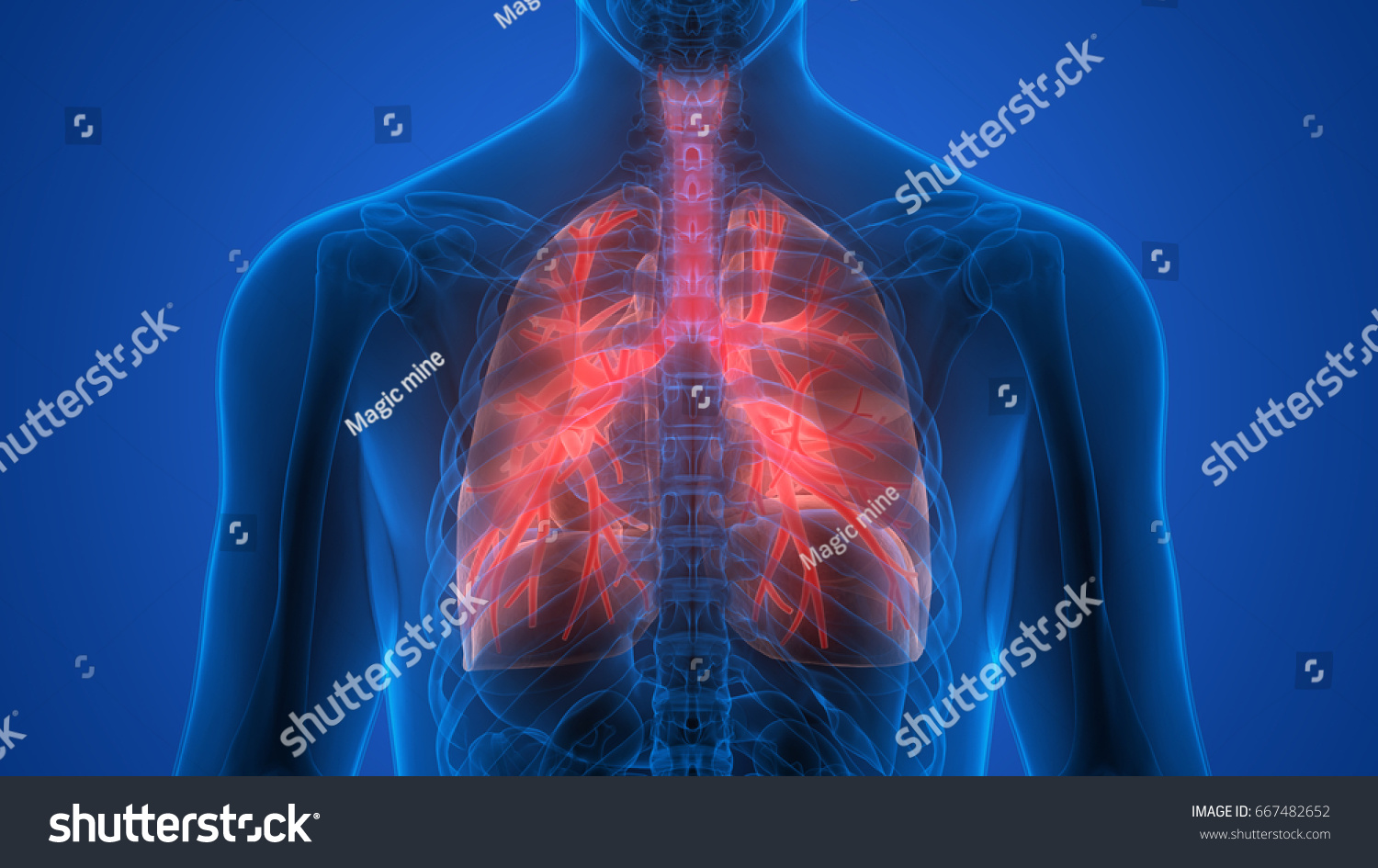 Human Body Organs Lungs Anatomy 3 D Stock Illustration 667482652