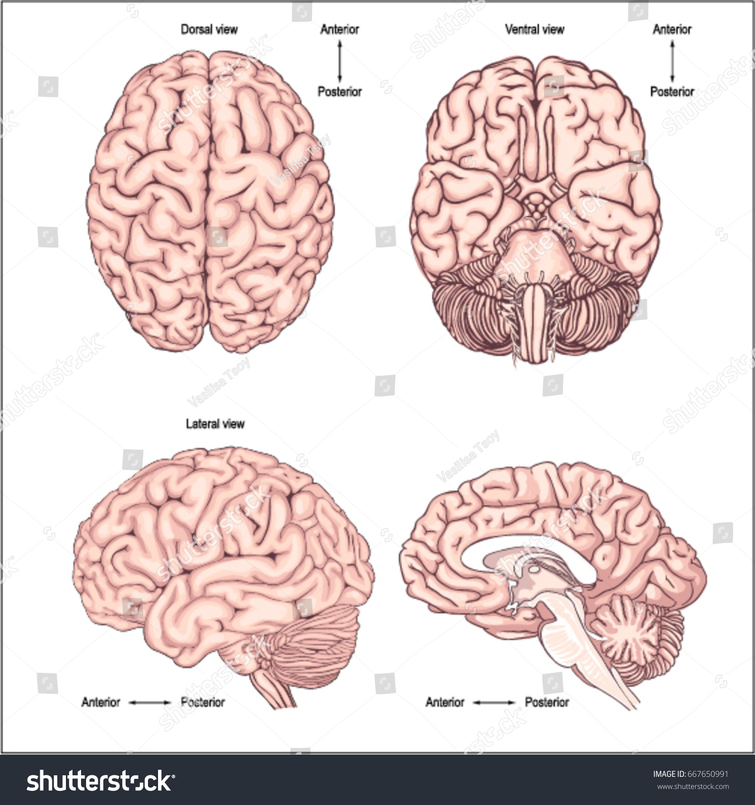 Diagram Brain Top Side Front Back Stock Vector (Royalty Free ...