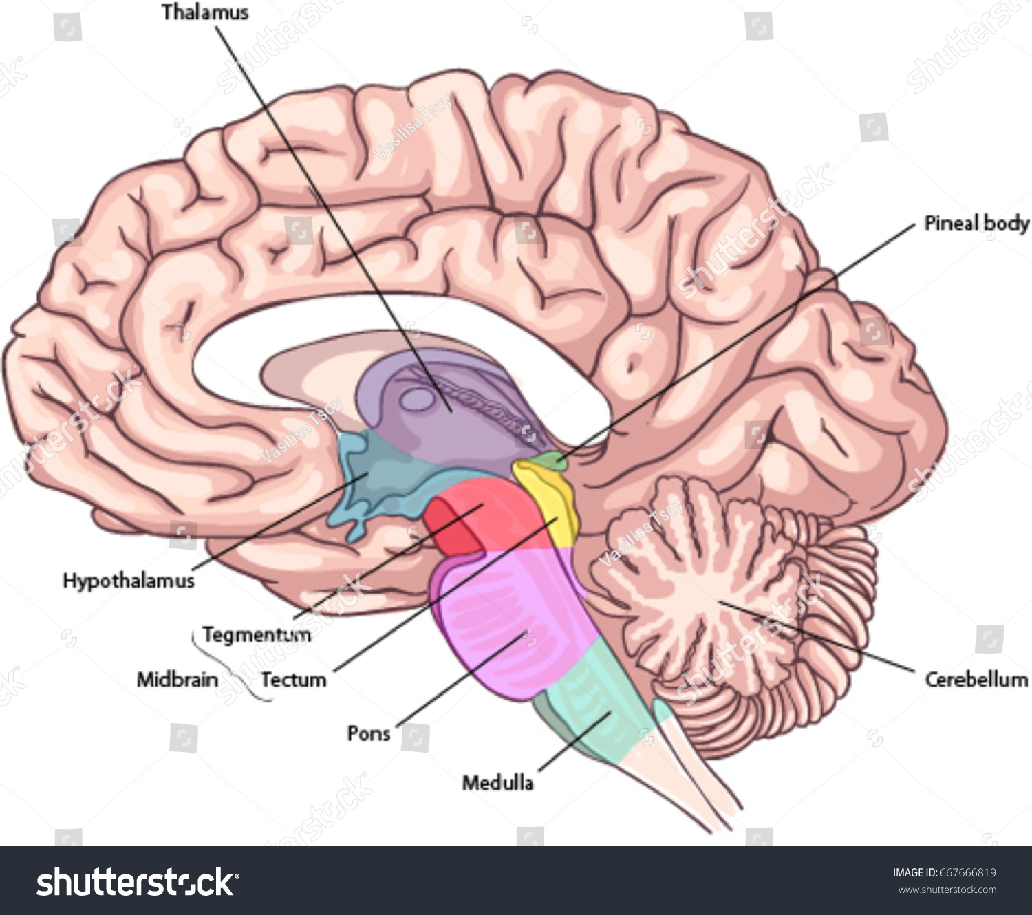 Medial Surface Brain Brain Stem Structures Stock Vector (Royalty ...