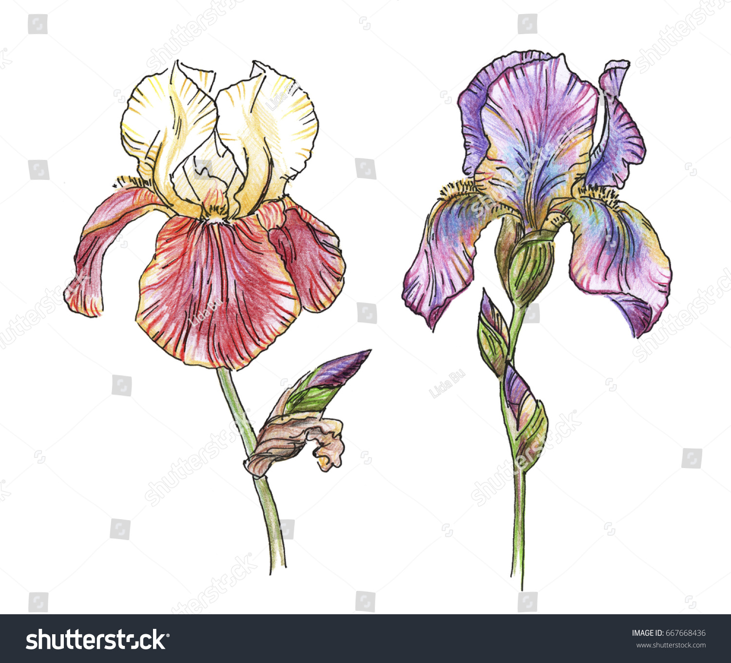 Two iris flower on white background stock illustration 667668436 two iris flower of on a white background black and white outline illustration with color izmirmasajfo
