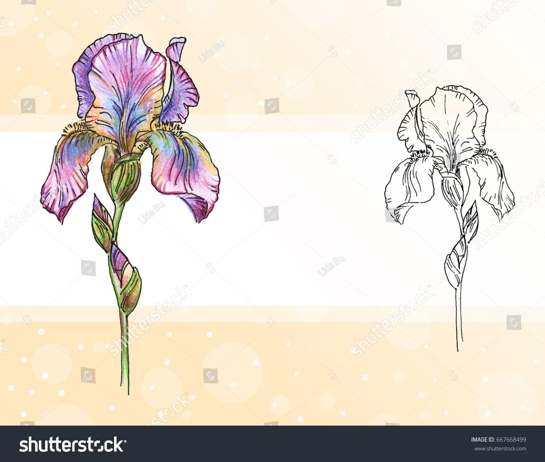 Iris Flowers Black White Outline Illustration Stock Illustration