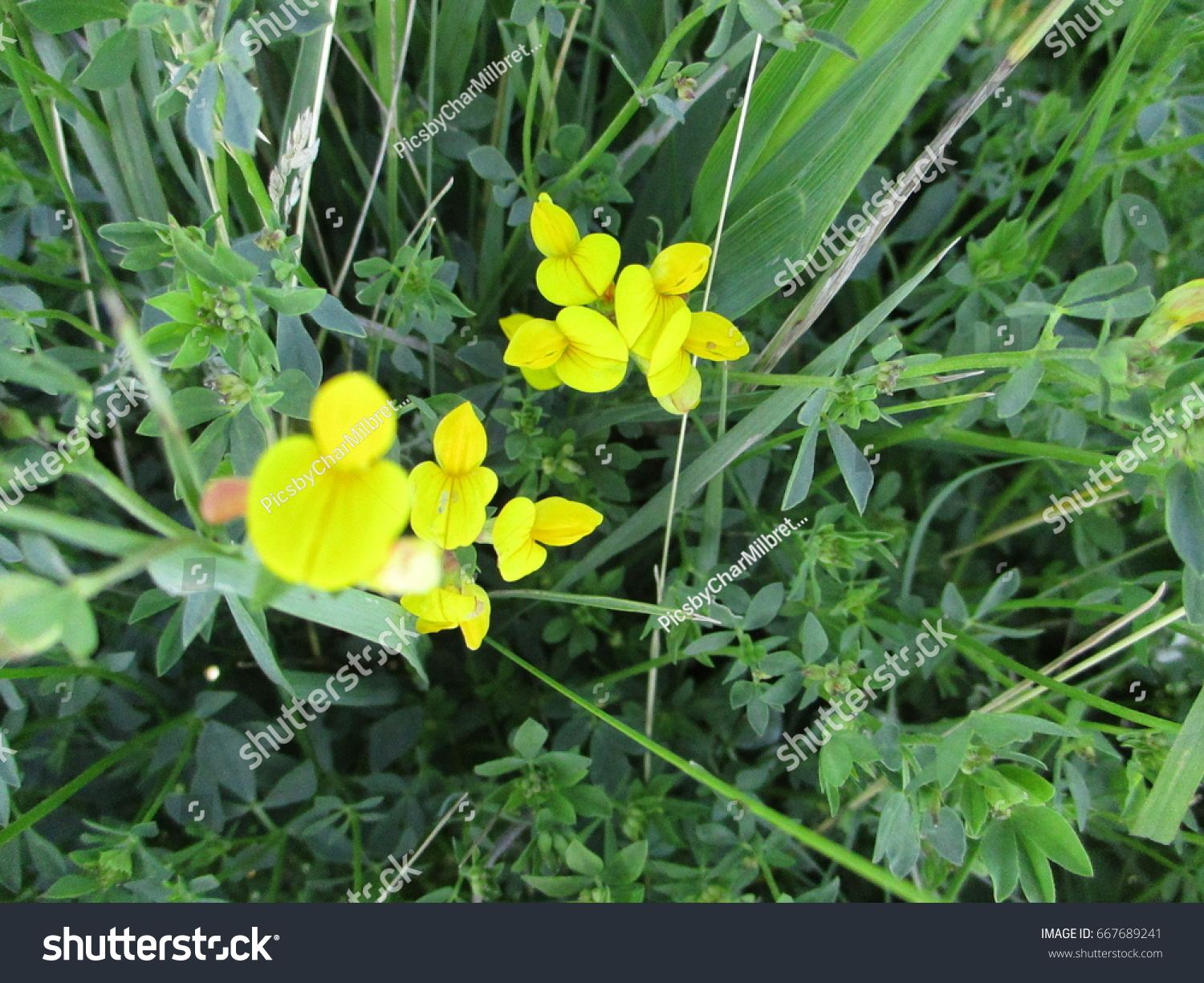 Yellow Flower On Ditch Weed Stock Photo Edit Now 667689241