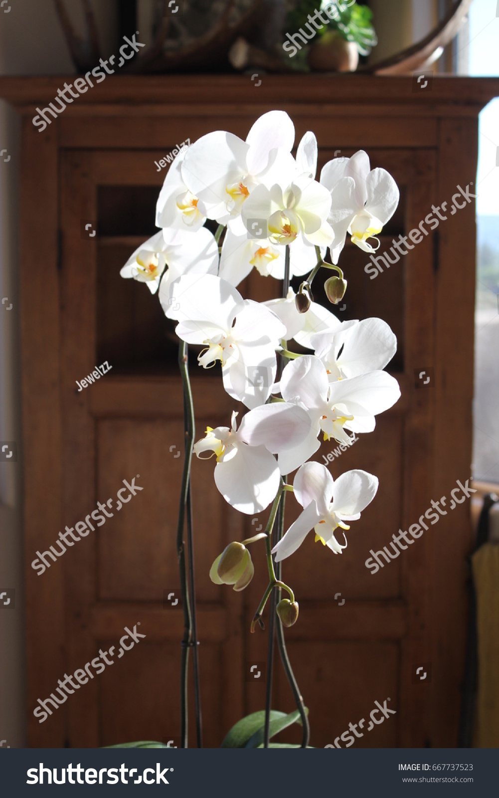 Close Cascading White Orchid Flowers Suspended Stock Photo Edit Now