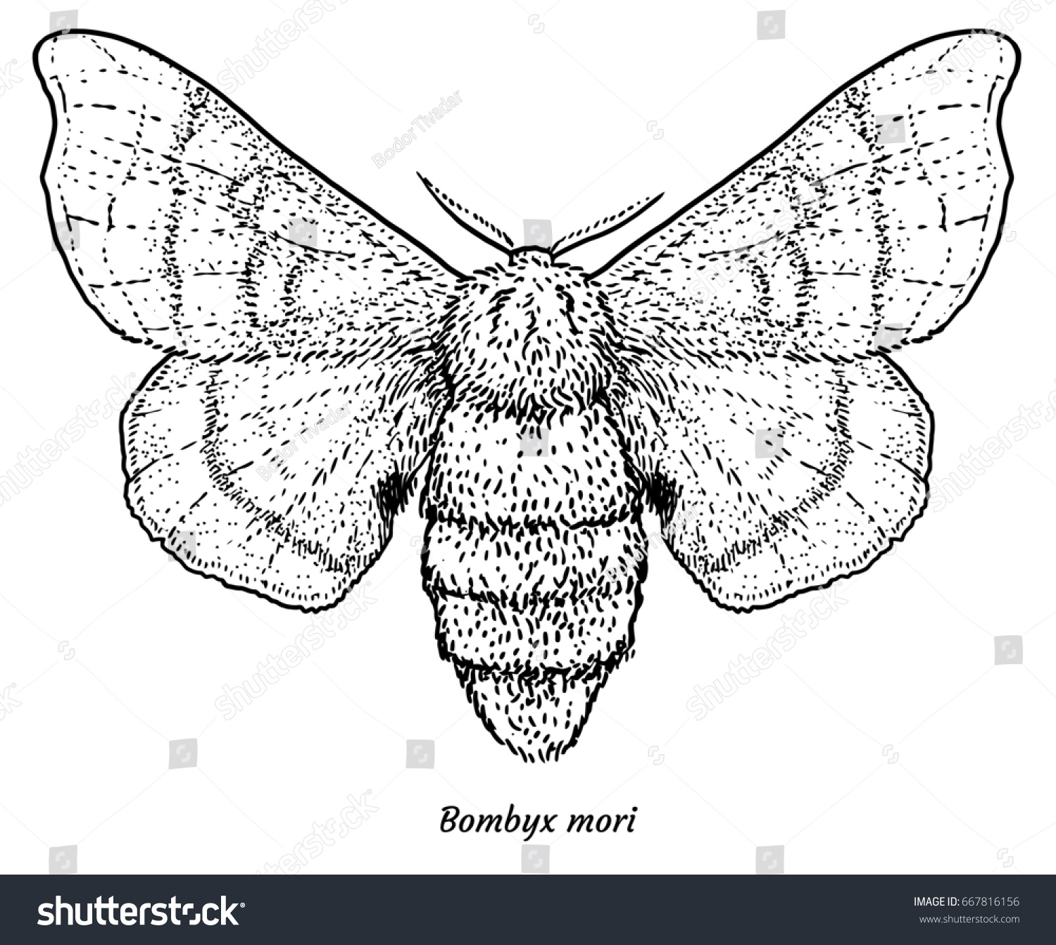 Domesticated Silk Moth Illustration Drawing Engraving Stock Vector ...