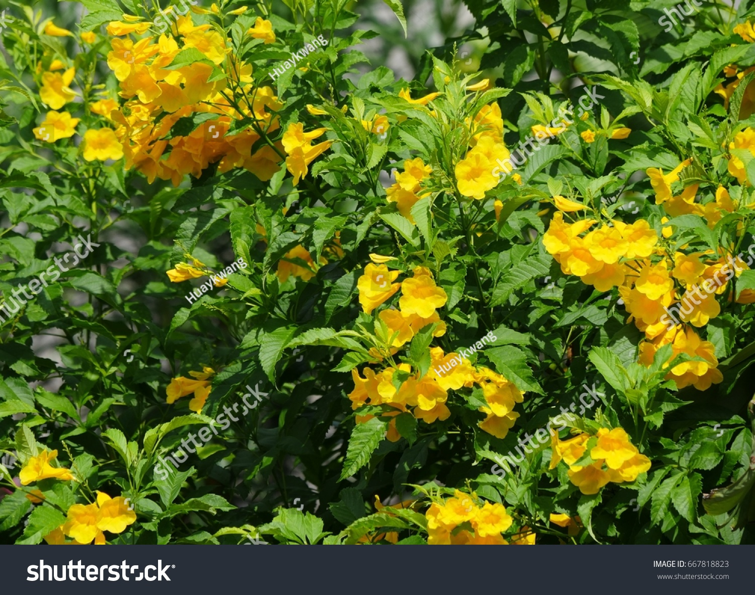 Yellow Trumpetbush Flowers Green Leaves Background Stock Photo Edit