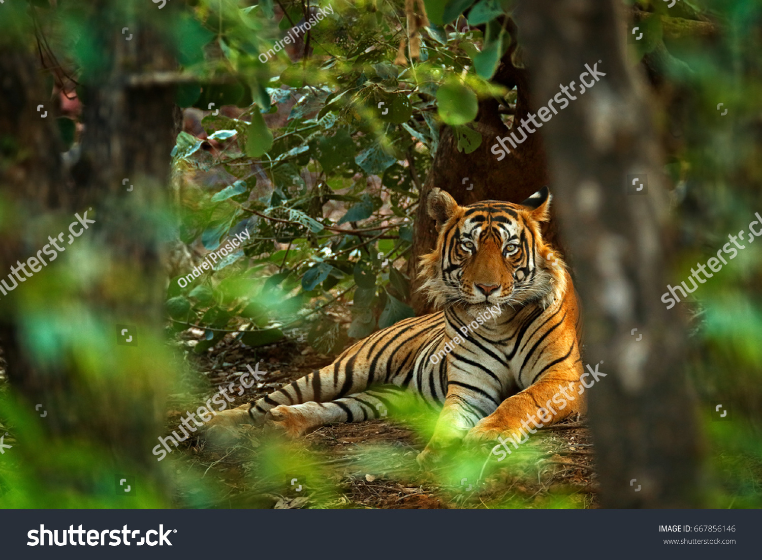 Indian tiger male with first rain, wild animal in the nature habitat, Ranthambore, India. Big cat, endangered animal. End of dry season, beginning monsoon. #667856146