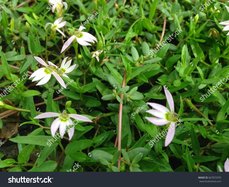Lobelia chinensis lour plant the use of blood vomiting solves id 667872970 izmirmasajfo