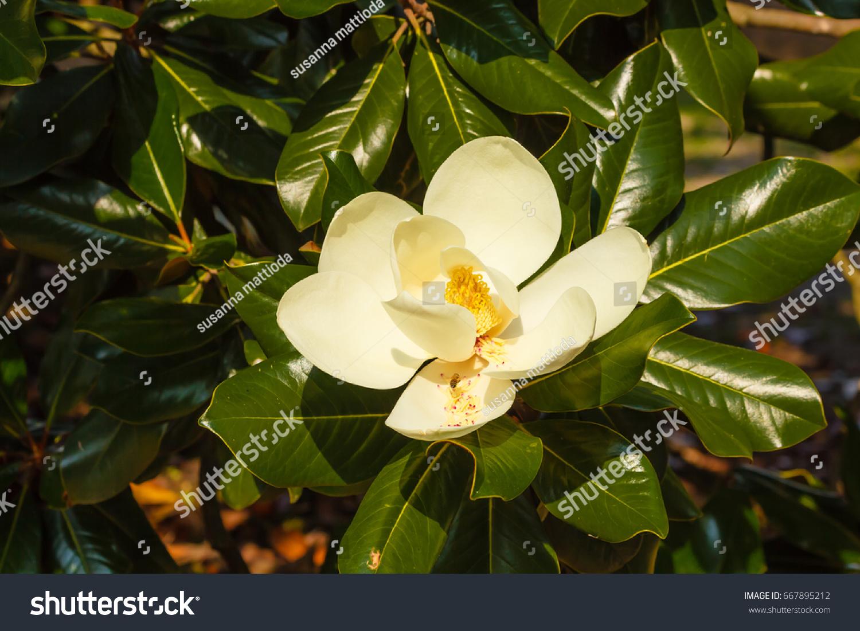 Magnolia Grandiflora Ornamental Tree Large Shiny Stock Photo
