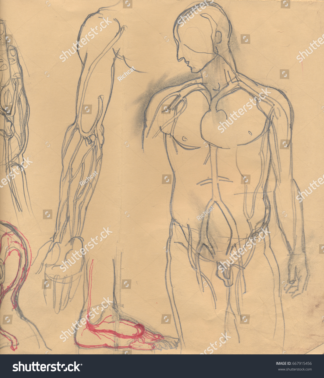 Illustration Graphics Contest Full Body Muscle Diagram For Hand Drawn Illustrations Different Human Stock Of Parts Emphasizing The Blood Vessels Artistic Anatomy Graphic