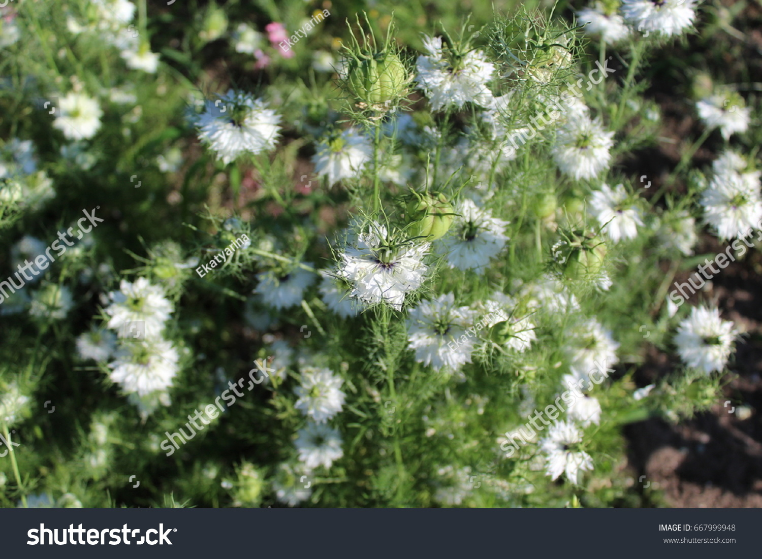Small white flowers blossomed in the spring these are beautiful id 667999948 mightylinksfo