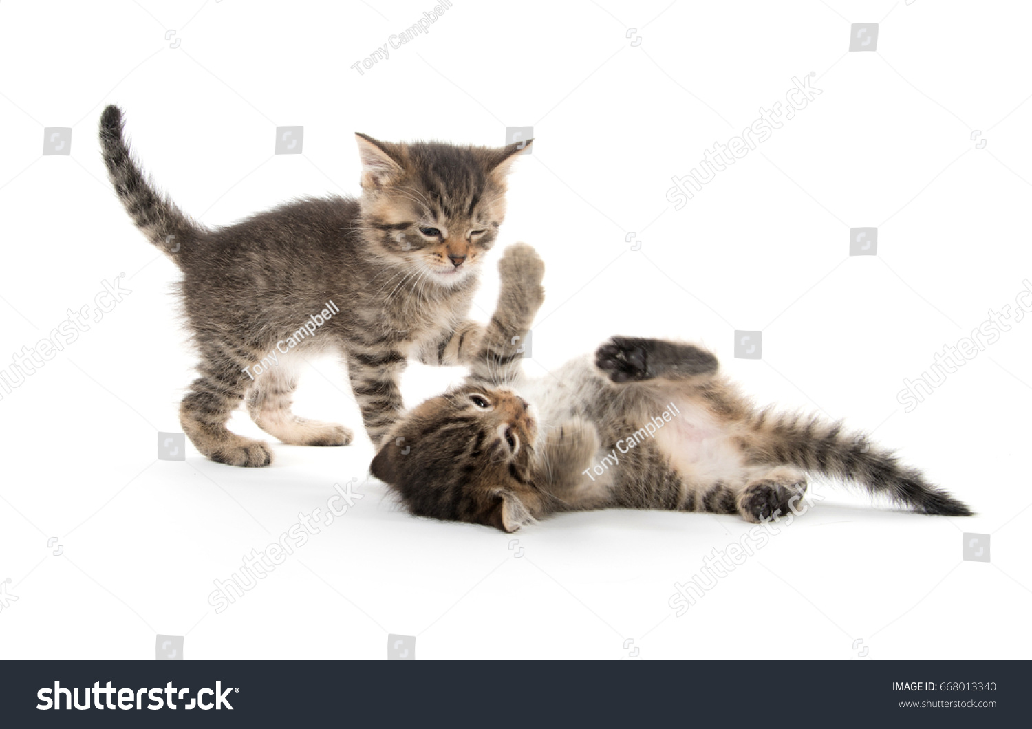 Two Cute Baby Tabby Kittens Fighting Stock